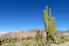 Mountains with huge cactus growing Stock Images