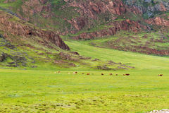 Mountains landscape grazing cows Royalty Free Stock Image