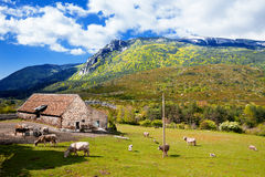 Mountains landscape,grazing cows on the farm. Stock Photography