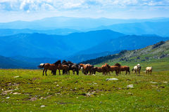 Mountains landscape with  herd of horses Stock Image