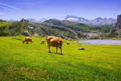 Mountains landscape with lake and cows Royalty Free Stock Images