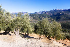 Mountains landscape with olives plants Stock Image