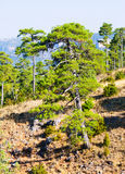 Mountains landscape with Pine trees Stock Photo