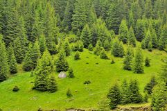 Pines in the top of Carpathians mountains Royalty Free Stock Image