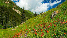 Mountains, meadows in orange flowers and a green Royalty Free Stock Photos
