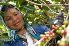 In the mountains of northern, Thailand Woman of the Akha ethnic. Chiang Rai, Thailand - November 2, 2007: Woman of the Akha ethnic group gather coffee in the Stock Photos