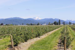 Mountains overlooking blueberry fields Royalty Free Stock Images