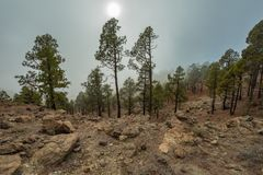 Mountains and pine tree forest near volcano Teide, partly covered by the clouds. Bright blue sky. Teide National Park, Tenerife, royalty free stock images