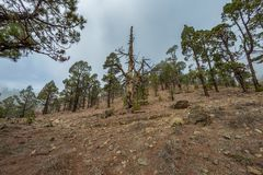 Mountains and pine tree forest near volcano Teide, partly covered by the clouds. Bright blue sky. Teide National Park, Tenerife, royalty free stock photo