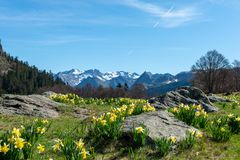 Mountains range with daffodils French Pyrenees stock photography
