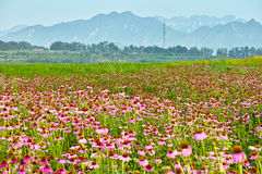 Mountains and the sea of chrysanthemum.  royalty free stock photo