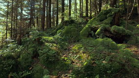 Mountains` stones, mosses, trees and ferns. stock video