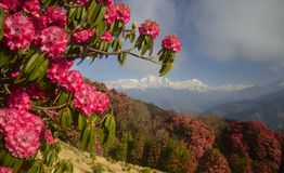 Mountains view with red rhododendron flowers in foreground. Himalaya Mountains range with red rhododendron flowers in foreground. Poon Hill. Morning scene royalty free stock photos