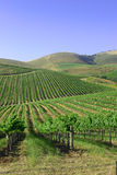 Mountains and vineyards. Very pretty photo of vineyards in rolling country side with blue skies behind royalty free stock image
