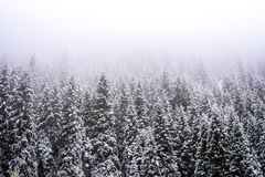 Mountains winter forest. Fit-tree forest covered in fog mist.  stock image