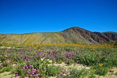 Mountainside Borrego Anza wildflower Στοκ φωτογραφία με δικαίωμα ελεύθερης χρήσης