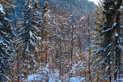 Mountainside forest snow-powdered trees. A mixed forest with the trees powdered in snow. German nature in winter at a sunny day in Karwendel nature reserve stock photos