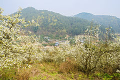 Mountainside village in ablaze pear blossom on sunny spring Royalty Free Stock Image