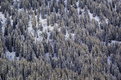 Mountainside in winter. Snow-covered spruce Stock Image