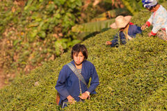 On the mountainside women of the Akha ethnic group, harvesting tea leaves Stock Photos