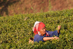 On the mountainside women of the Akha ethnic group, harvesting tea leaves Stock Images