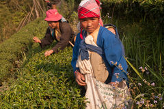 On the mountainside women of the Akha ethnic group, harvesting tea leaves Royalty Free Stock Images