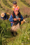 On the mountainside women of the Akha ethnic group, harvesting tea leaves Stock Photo
