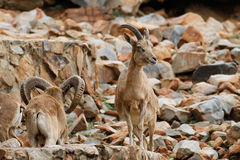 Mountan goat Stock Images