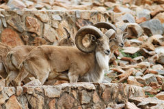 Mountan goat Stock Photo