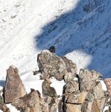 Mountan raven Stock Photo