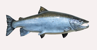 Mounted Atlantic Salmon. On a white background Royalty Free Stock Photography