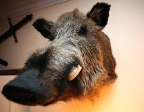 Mounted Boar Head Royalty Free Stock Photos