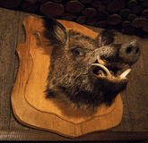 Mounted Boar Head. On a wooden plaque Stock Image