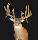 Mounted Buck with Antlers. A trophy mounted of a whitetail Buck with large antlers stock photos