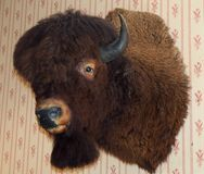 Mounted Buffalo Or Bison Head. With horns mounted on wallpapered wall Royalty Free Stock Photo