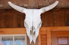 Mounted Cattle Skull Stock Image
