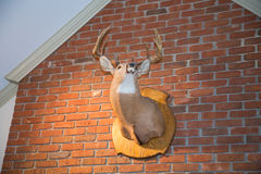 Mounted Deer Head on Brick Wall. A stuffed deer head mounted on a brick wall Royalty Free Stock Photography