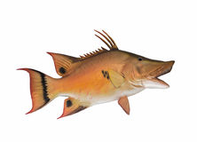 Mounted hogfish Royalty Free Stock Image