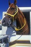 Mounted patrol horse in trailer, Wilmington, DE Stock Photo