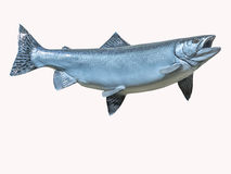 Mounted Pink Salmon on a white background. Stock Photography
