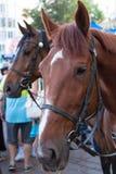 Mounted Police Horse Royalty Free Stock Photos