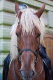 Mounted Police Horse palomeno Royalty Free Stock Photo