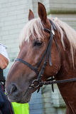 Mounted Police Horse palomeno Stock Photos