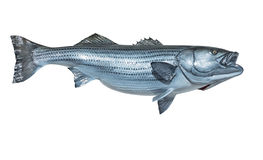 Mounted Striped Bass. On a white background royalty free stock photography