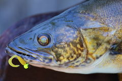 Mounted Walleye. A close up view of a mounted walleye fish with lure in his mouth Stock Images