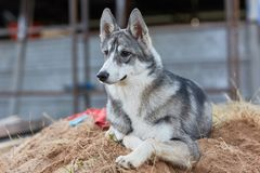 Mounth щенка 6 Laika стоковая фотография rf