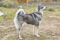 Mounth щенка 6 Laika стоковые фотографии rf
