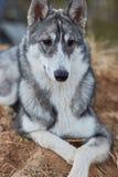 Mounth щенка 6 Laika стоковые изображения