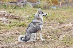 Mounth щенка 6 Laika стоковые изображения rf