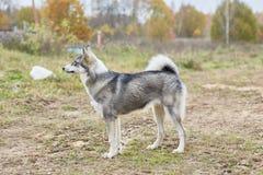 Mounth щенка 6 Laika стоковое фото